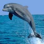 Морские животные. Раскраски Дельфины скачать