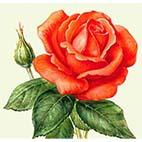 Раскраска цветок. Роза